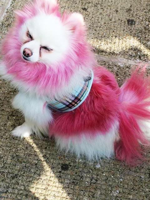 """Chú chó """"bảnh chọe"""" sở hữu bộ lông màu mè sặc sỡ"""