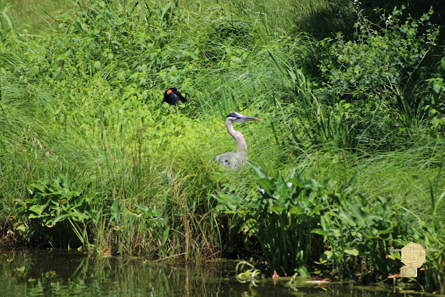 Annoyed - Heron And Red Winged Blackbird 3 Of 10