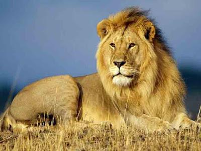 Asiatic Lion Conservation Project