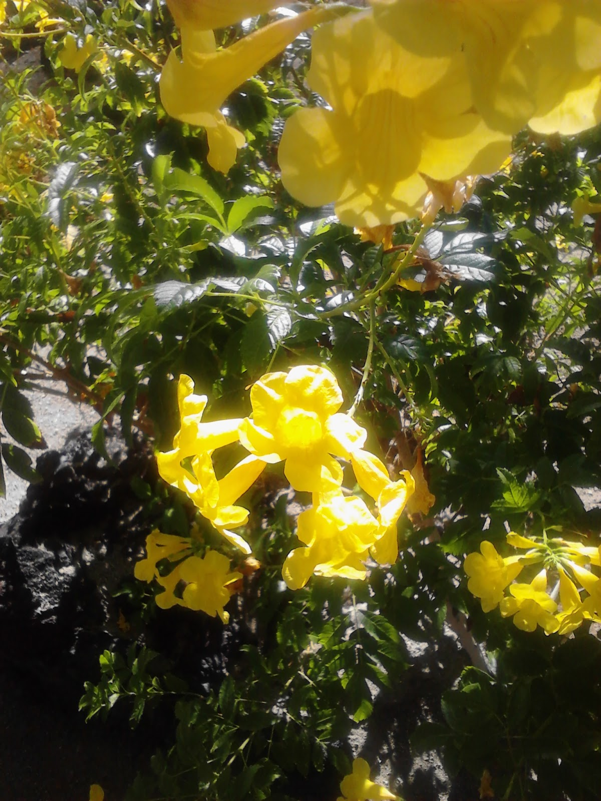 Xtremehorticulture Of The Desert Taking Care Of Yellow Bells