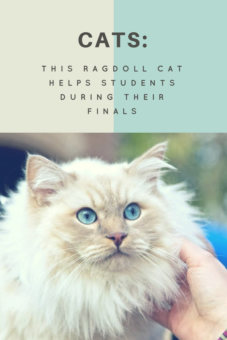 ragdoll cats therapy cats