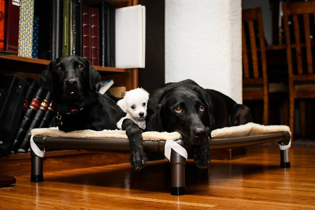 Three dogs laying on a Kuranda bed