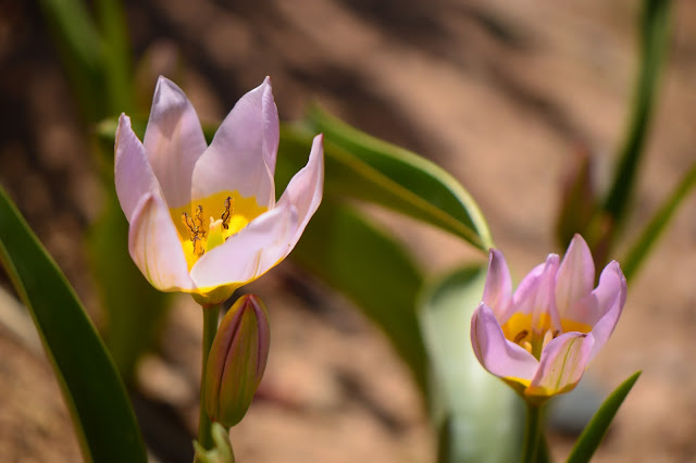 small sunny garden, desert garden, amy myers, photography, about the garden, plant selection, tulipa saxatalis, low winter chill, bulb