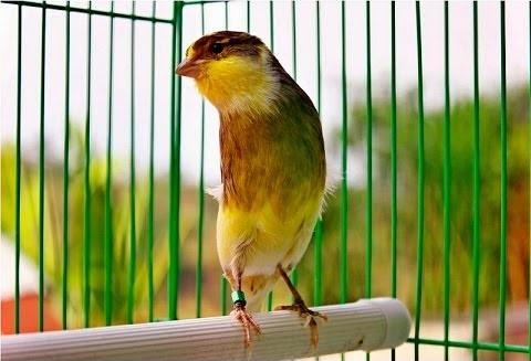 Daftar Harga Burung Kenari Semua Jenis Orisinil Terbaru Tahun 2019