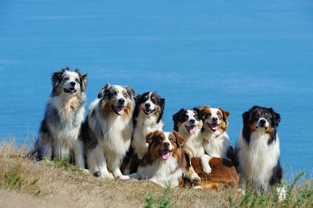 Seven happy Australian Shepherd dogs pose by the sea