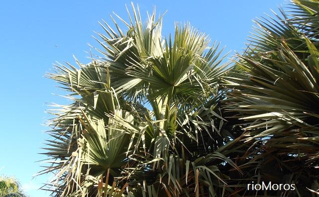 Hojas de PALMERA DE ABANICO AFRICANA Borassus aethiopum