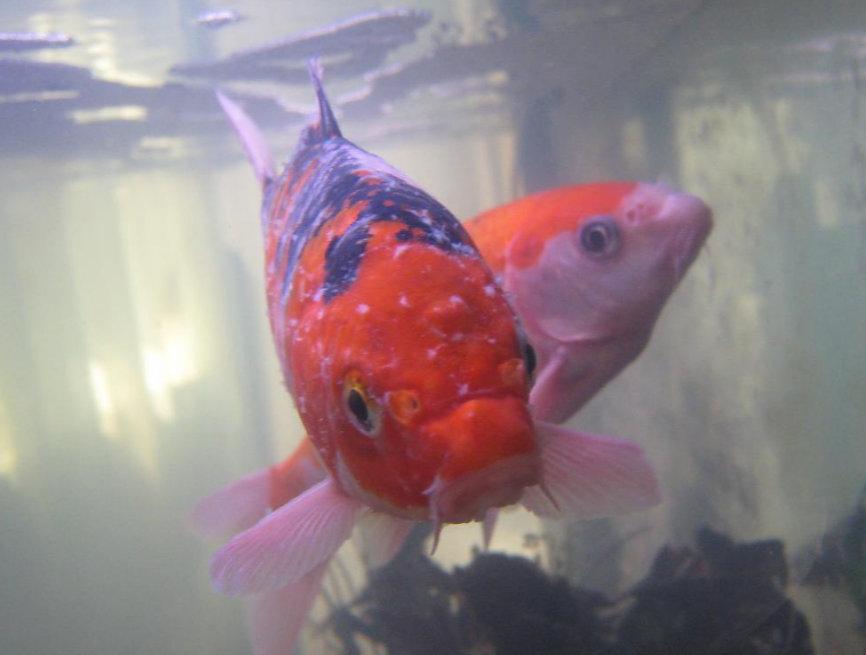 aranyhal vörös foltokon, mint kezelni