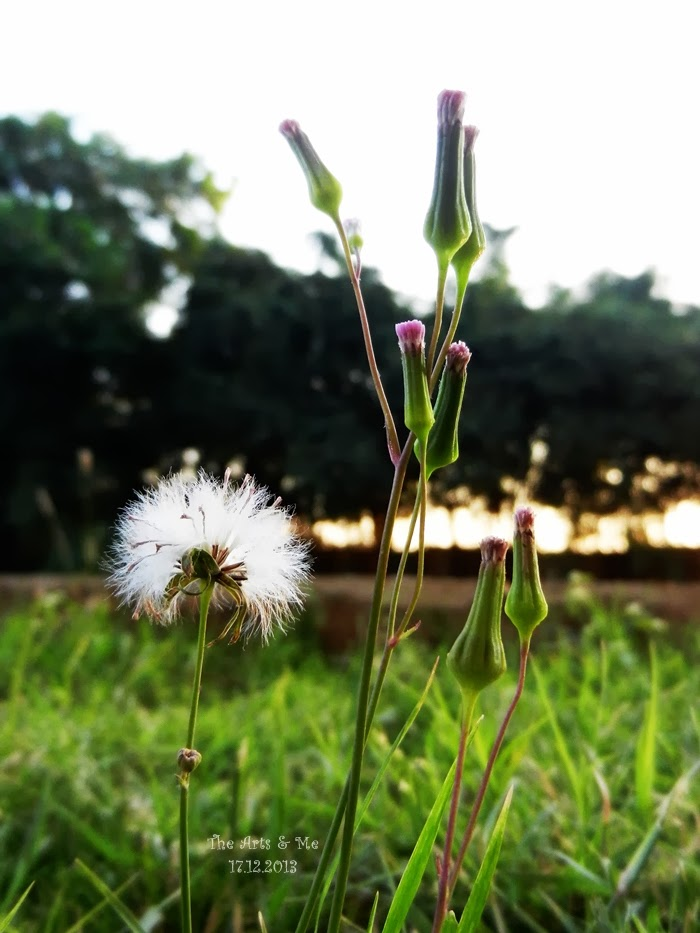 Vernonia cinerea