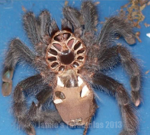 how to sex a tarantula