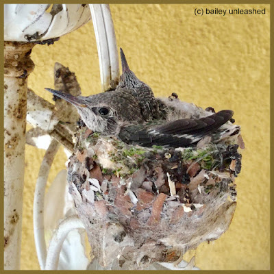 baby hummingbirds | via baileyunleashed.com
