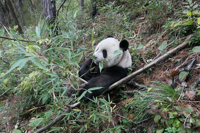Ancient pandas weren't exclusive bamboo eaters, bone evidence suggests