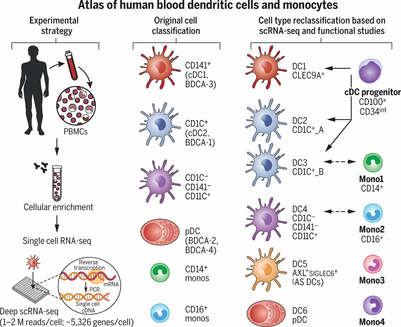 Medical Microbiology Atlas Map For Blood Dendritic Cells