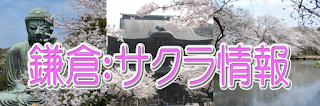鎌倉:桜情報