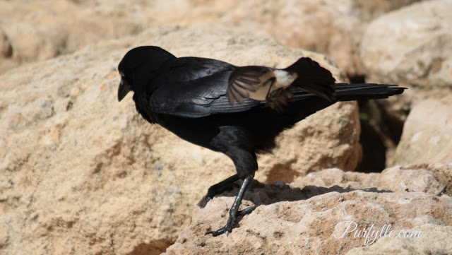 Willie wag tail tackling a raven