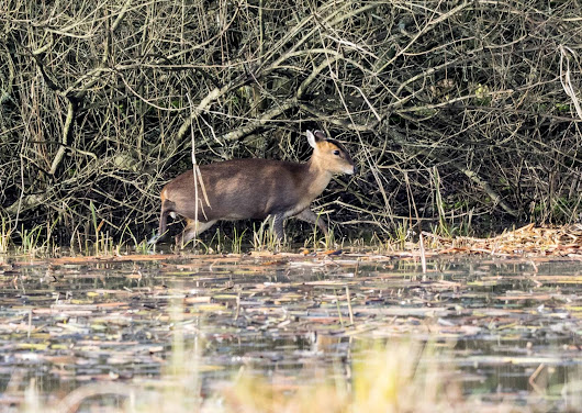 Muntjac Deer (Female)