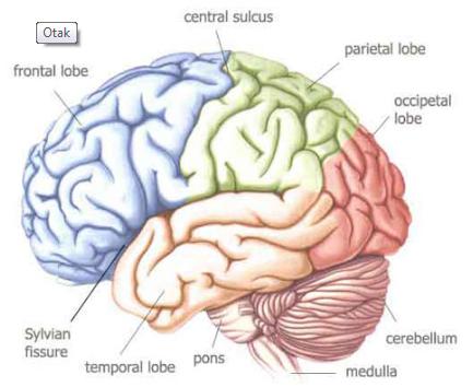 Mengenali Pengertian Berseta Bagian, Struktur dan Fungsi Otak Terlengkap