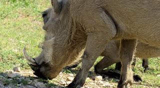 African wild pig