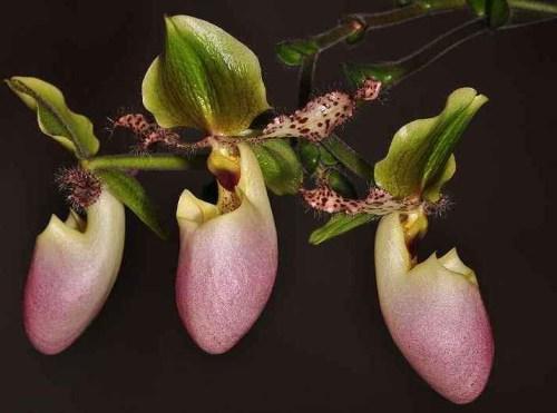 contoh Bunga Anggrek Kantong Semar