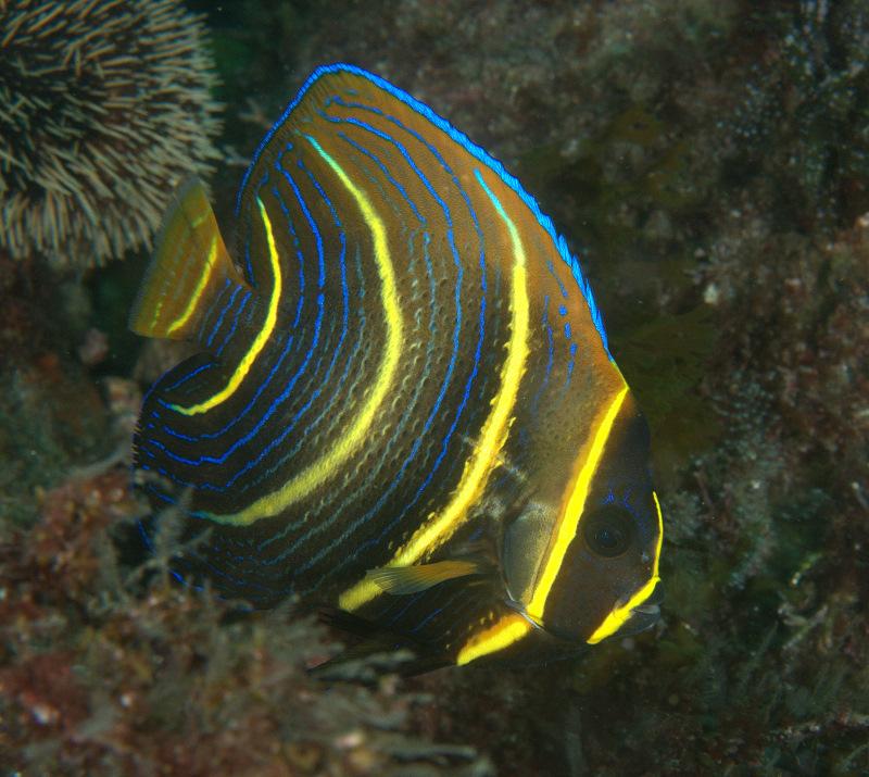 Under Pressure World: Cortez Angelfish (juvenile)- Sea Of