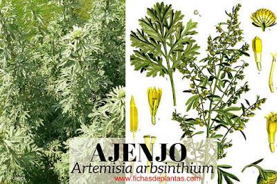 Ajenjo es una planta medicinal utilizada en infusión