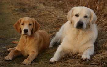Wallpaper: Golden Retriever dogs
