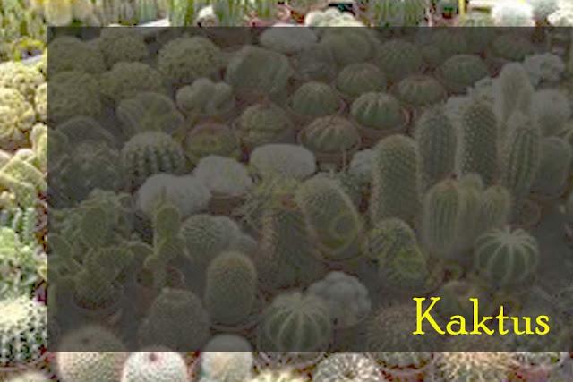 kaktus-tanaman-hias-menyegarkan-ruangan