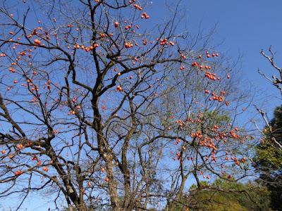 【大阪府枚方市】山田池公園・秋の紅葉ウォーキング 柿