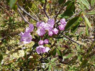Kalmia à feuilles d'andromède - Kalmia polifolia