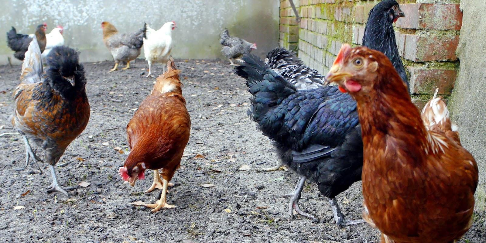 Huhn Ohrläppchen