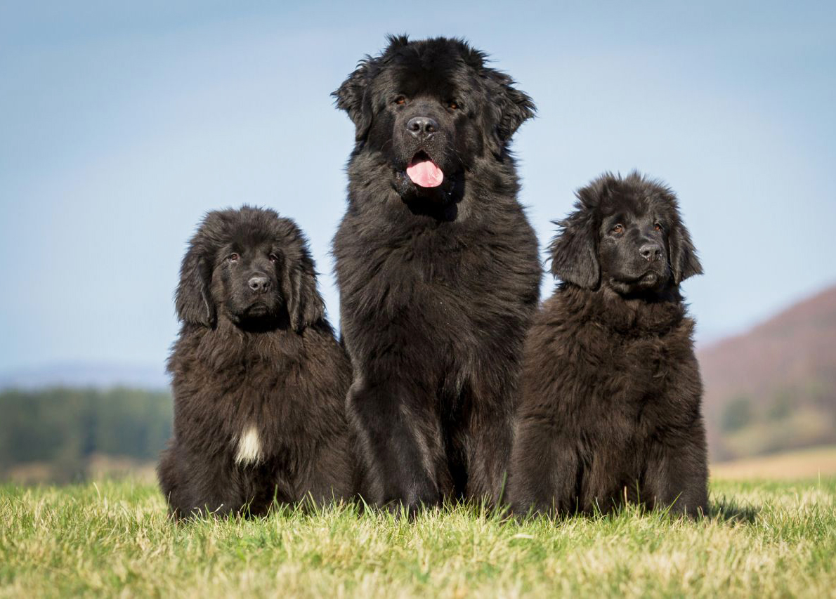 Newfoundland dog breed: description, character, photo and reviews 88