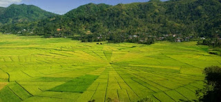 Pemandangan Sawah Spiderman di Flores Indonesia