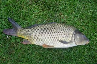 Umpan-Ikan-Mas-Jitu-Tanpa-Kroto