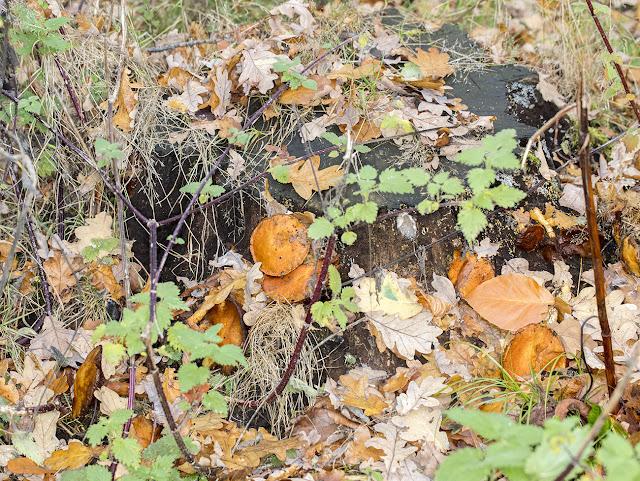 Gymnopilus penetrans, Common Rustgill.  Hayes Common, 16 November 2016.