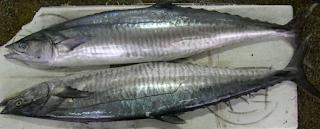 Ikan tenggiri mempunyai nama latin Scomberomorus Kabar Terbaru- HARGA IKAN TENGGIRI