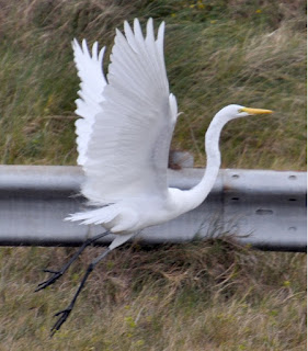 large white egret flapping its wings