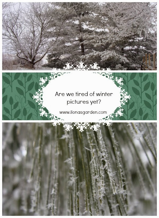 It is Still Freezing, Cold, And Snowing         |          Ilona's Garden Journal