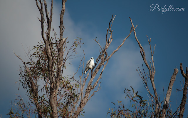 Black Shouldered Kite perched in a tree