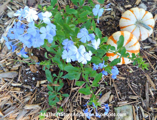 Blue plumbago and mini pumpkins