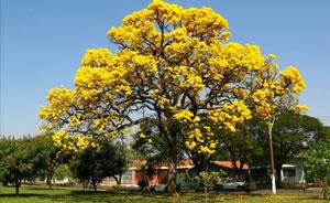 Pohon angsana tanaman peneduh