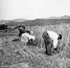 Siega del trigo al estilo antiguo