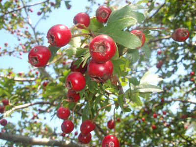 frutos del espino albar