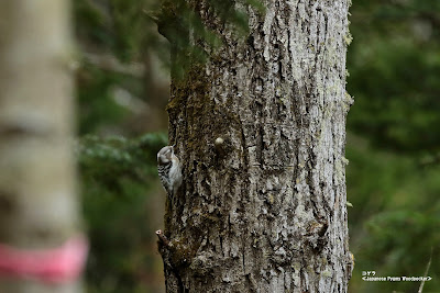 コゲラ ≪Japanese Pygmy Woodpecker≫