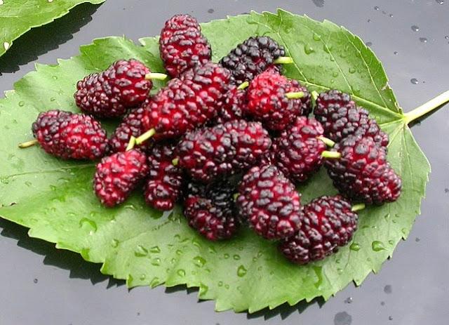 Morus alba fruit