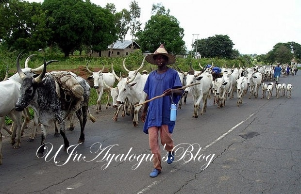 Fulani herdsmen, cattle defile govt directive, take over FCT [PHOTOS]
