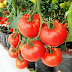 Mari Memanfaatkan Polybag Untuk Media Budidaya Tomat!