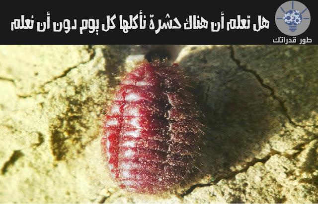 هل تعلم أن هناك حشرة نأكلها كل يوم دون أن نعلم