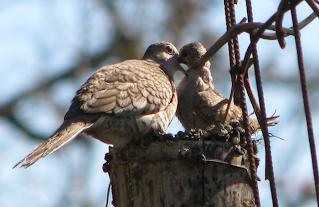 Inca Doves in nest