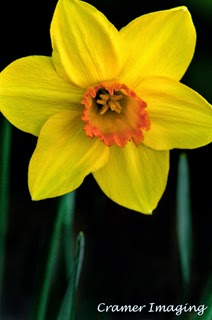 Cramer Imaging's professional quality fine art nature photograph of a yellow blooming daffodil plant in Pocatello, Bannock, Idaho