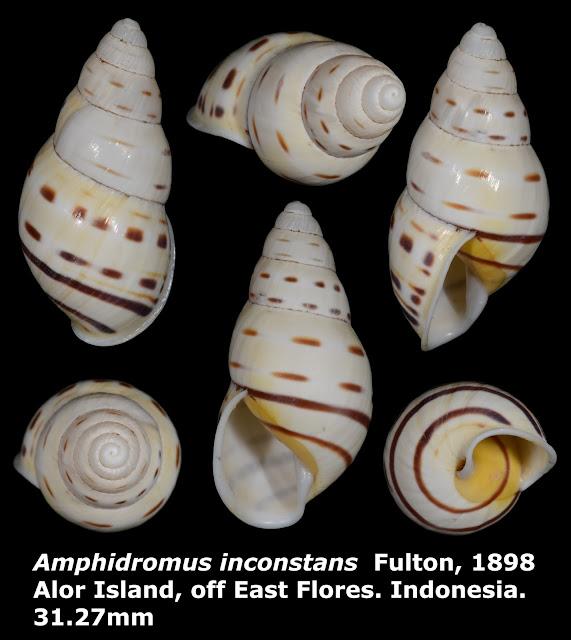 Amphidromus inconstans 31.27mm