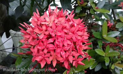 Macam-macam bunga Suko/suka jawa